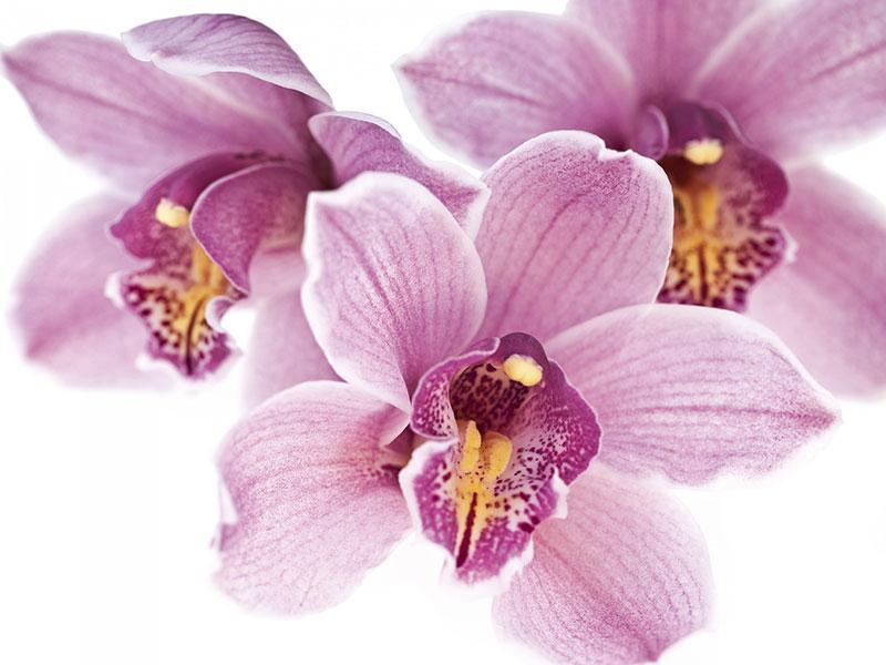 Le orchidee invio fiori on line vendita e consegna for Semi orchidea