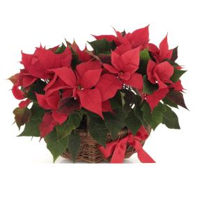Inviare online Composizione di Stelle di Natale